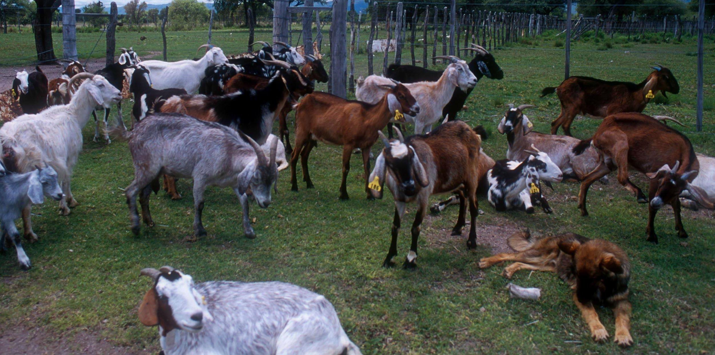 cabras en campo