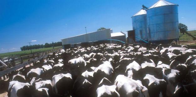 vacas lecheras dos