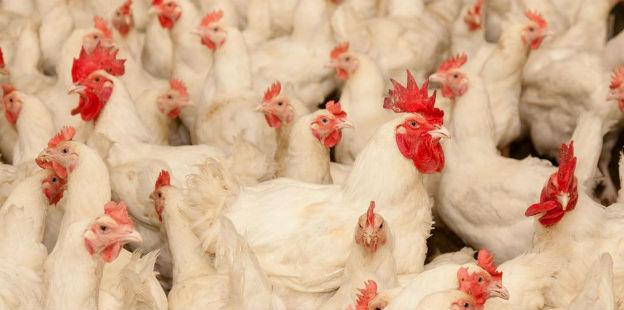 pollos dos