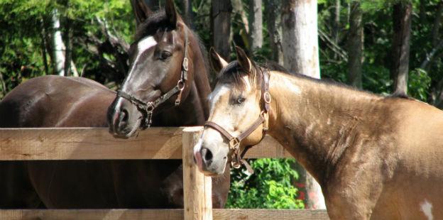 caballos dos