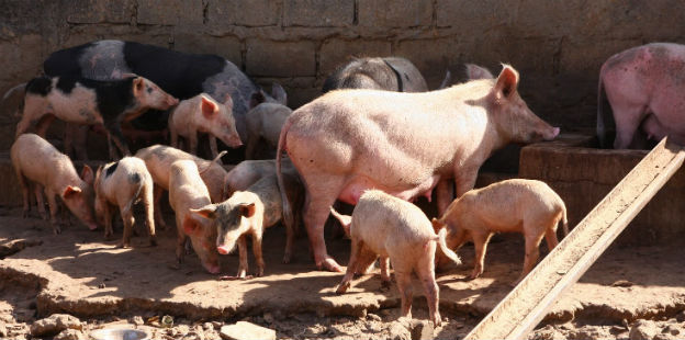 Piara cerdos dos