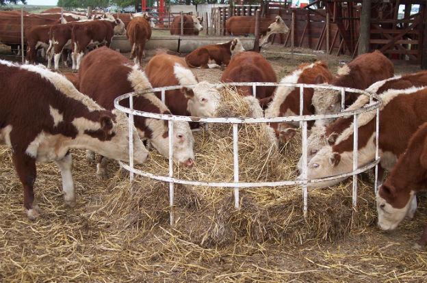 vacas final