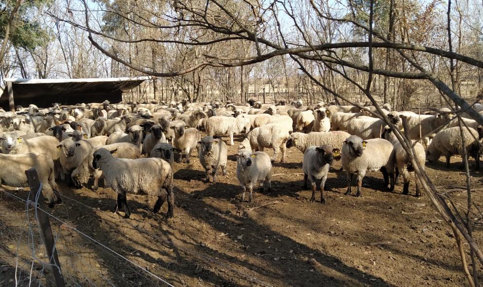 Aprobaron proyectos por $ 11 millones para productores ovinos y caprinos