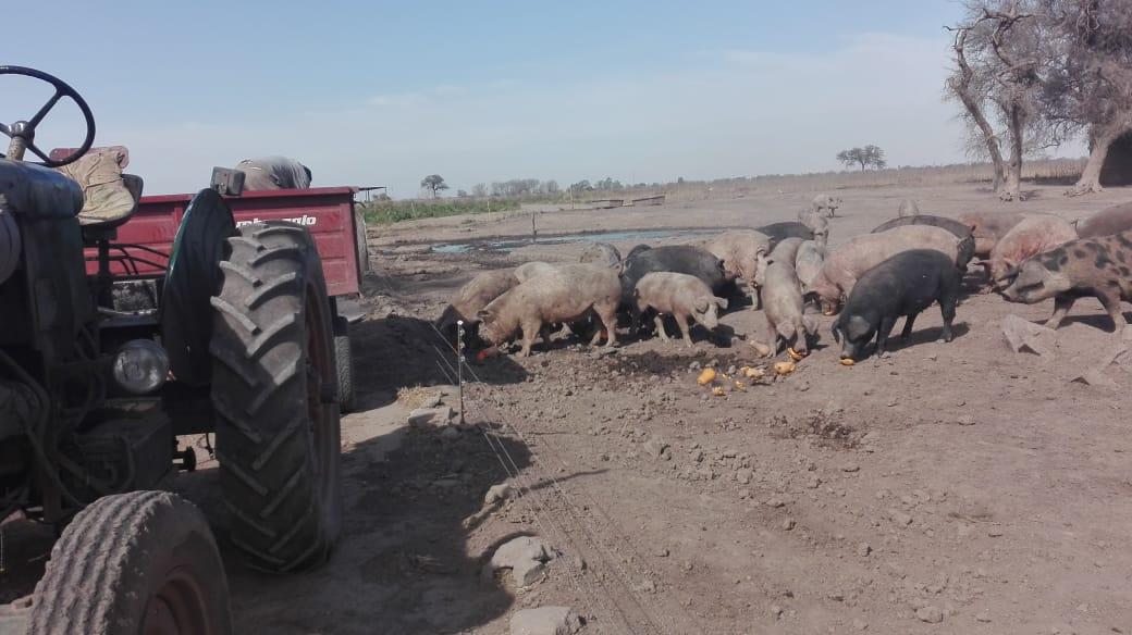 Operativo por triquinosis: decomisan y envían a faena 90 cerdos